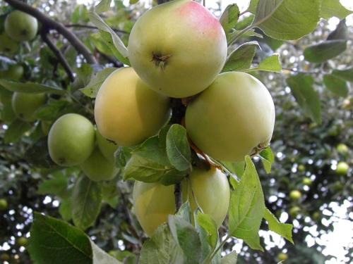Manzana morro de liebre