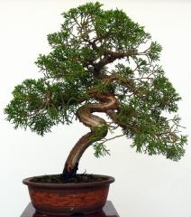Enzo bonsai - foto 1