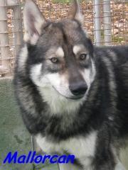 Cria de perros lobo de saarloos