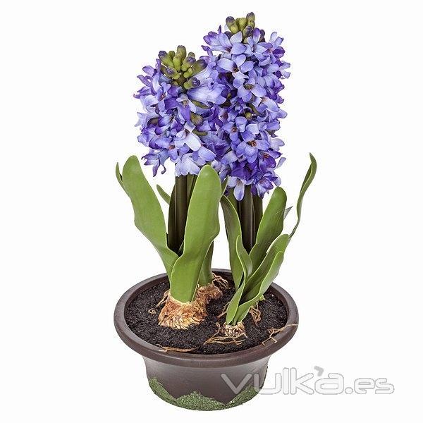 Jacintos en maceta awesome unidsbolsa jacinto hyacinthus for Jacinto planta interior