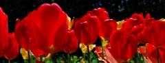 Tulipanes de Bariloche (Argentina).