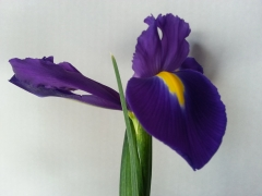 Iris morado