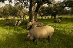 Los cerdos ib�ricos de adra pata negra