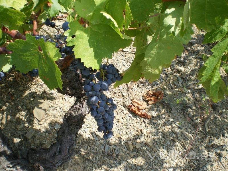 uva de viñedo viejo