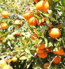 Nuestras mandarinas en el �rbol