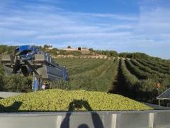 Aceituna cosecha a�o 2013