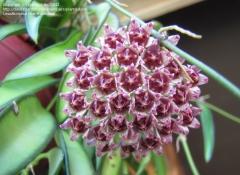 Flor hoya wayetti