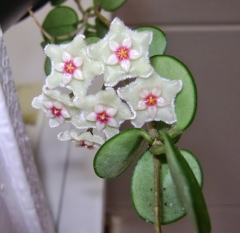 Flor hoya matilde