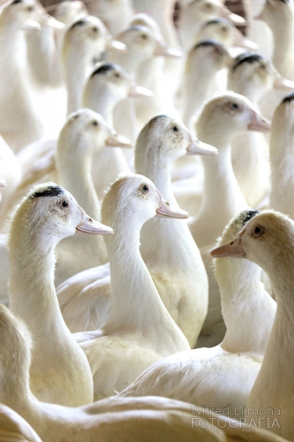 Fotografías decoración Patos blancos 007 Wifred Llimona