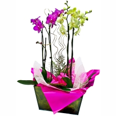 Centro de orqu�deas phalaenopsis