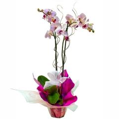 Planta de orqu�dea phalaenopsis