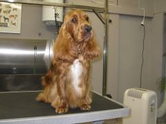 Foto 8 animales y mascotas en Cuenca - Peluquería Canina Pelanas 64