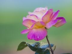 rosa en el parque