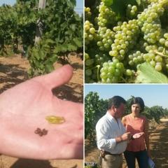 Vendimia vinos Mazacruz (Dehesa de Los Llanos)
