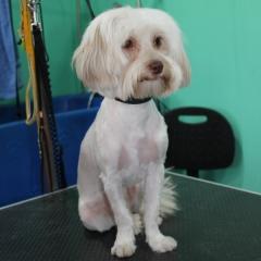 Coco en la peluqueria canina rosalia garcia de cordoba