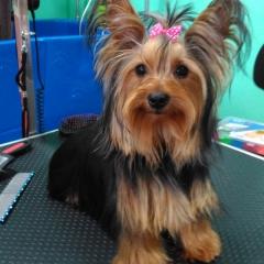 Noa en la peluqueria canina rosalia garcia de cordoba