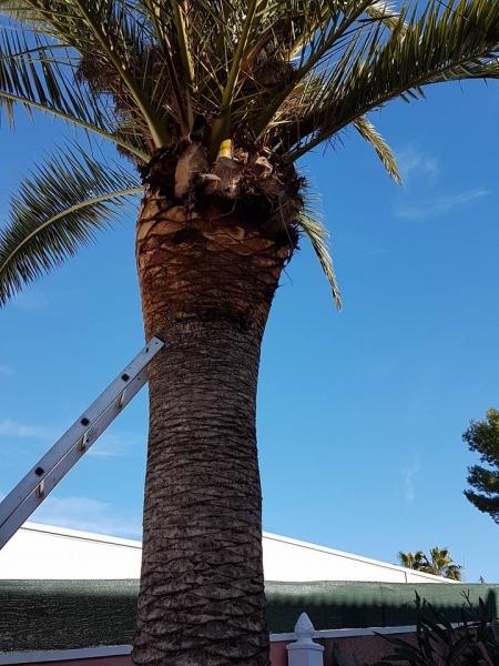 cepillado palmeras torrevieja