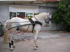 Caballo español/cruzado. blanco. enganchado en limonera, tronco y cuarta (periquitón). montado.