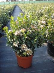 Viburnum tinus eve price c-25
