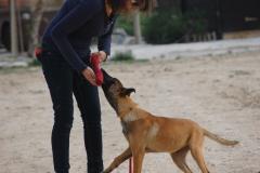 Cachorro de malinois 5 meses en su iniciacion
