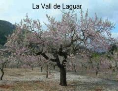 Almendro en flor La Vall de Laguar
