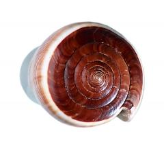 Conchas como tirador para puertas de cristal y cabinas de duchas. conus figulinus marr�n. di�metro 50 mm.