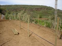 Preparacion y plantacion de parral