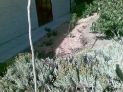 Madera de pino triturada para mulching.