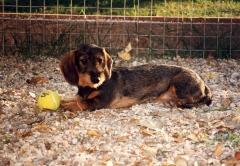 El sauzal teckels cachorro teckel jugando con una pelota