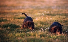 El sauzal teckels cachorros teckel jugando el la hierba