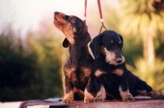 El sauzal teckels cachorros teckel aprendiendo educación