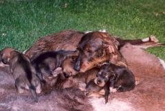 Camadas el sauzal teckels cachorros teckel