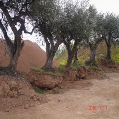 Vendo olivos centenarios precio negociable! tlf : 676 373 089