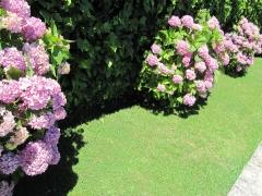 Jard�n con macizos de hortensias
