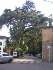 Cedro de la Villa declarado Arbol Singular de Extremadura.