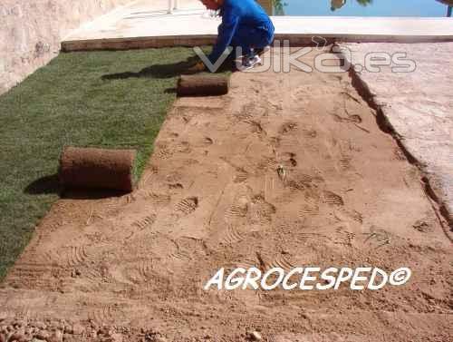 Agrocesped cesped natural en rollos o tepes c ceres - Como plantar cesped en el jardin ...